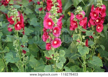 Hollyhock Mallow, Alcea rosea, Malvaceae, Althaea rosea