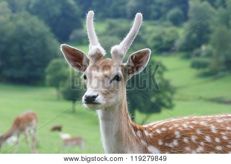 Fallow Deer-bull   (dama Dama)