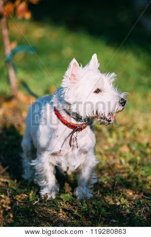 West Highland White Terrier - Westie, Westy Dog Outdoors.