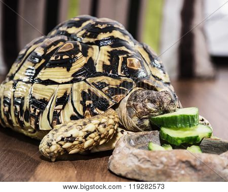 Leopard Tortoise - Geochelone Pardalis - Eating Cucumber, Animal Scene