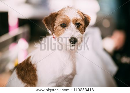 Young Rough Coated Jack Russell Terrier Dog. Small terrier