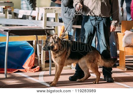 Man and Alsatian Wolf Dog in dog show
