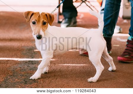 Young Jack Russell Terrier Dog on Floor