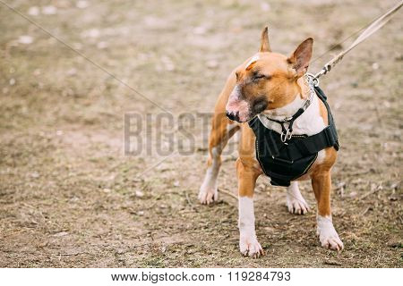 Brown Bullterrier Dog Portrait Outdoors. Copy space