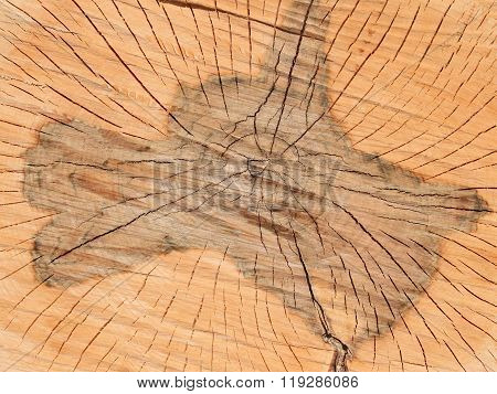Transverse Section Of Wooden Logs