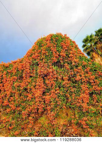 Cluster Of Orange Honeysuckle