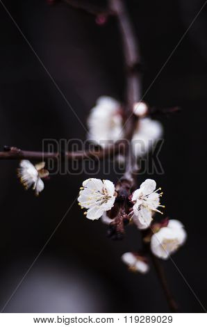Beautiful closeup spring blossoming tree . Branch with a lot of