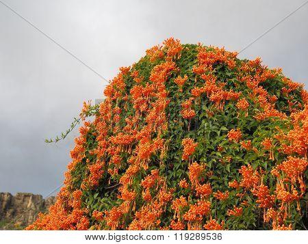 Cluster Of Orange Honeysucckle