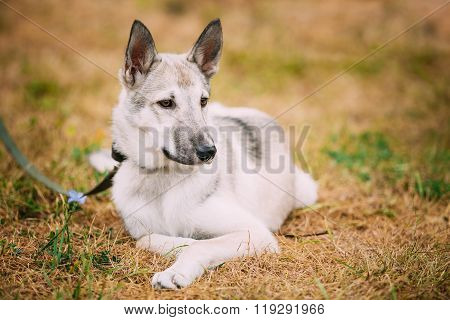 Single Beautiful young russian Laika puppy Dog sitting on dry gr