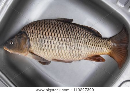 Big Fresh Carp Fish