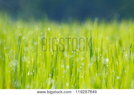 Morning paddy field