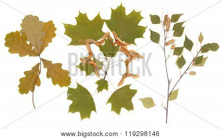 Branches Of Oak, Maple And Birch