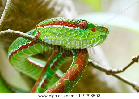 Pope's Green Pit viper