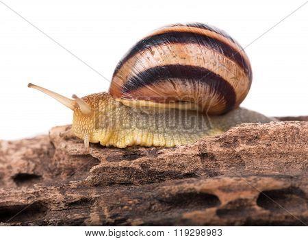 Bright Striped Snail