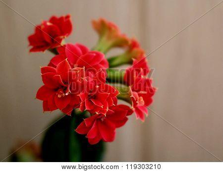 Kalanchoe plant smile