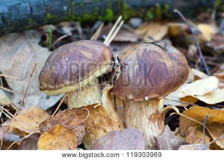 The ceps in the orest