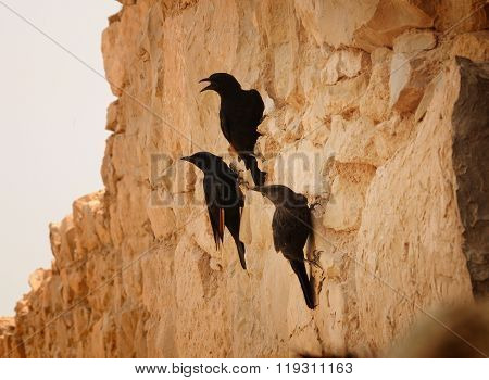 Three black birds are sitting on a cliff and looking to the left