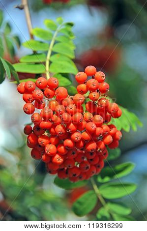 Rowan Berries, Mountain Ash (sorbus)