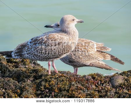 Juvenile Herring Gulls On Rocks Of The Jersey Island