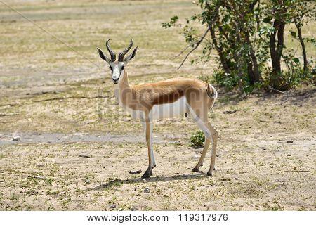 Springbok Antelope In Africa