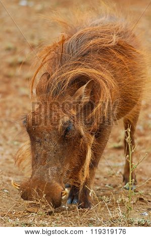 Warthog Is Lazy In The Sun In Africa