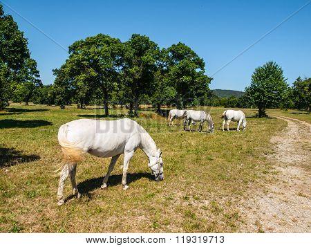 White Lipizzaner Horses