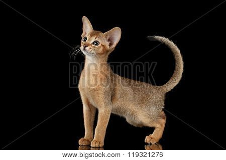 Standing Abyssinian Kitten Looking At Left And Raising Up Tail