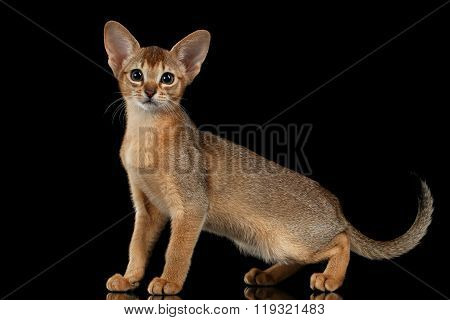 Standing Abyssinian Kitten And Looking In Camera Isolated On Black