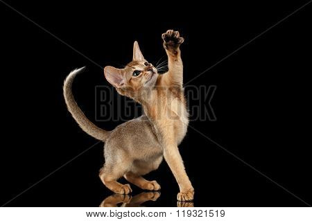 Playful Abyssinian Kitten Looking And Raising Up Paw Isolated Black