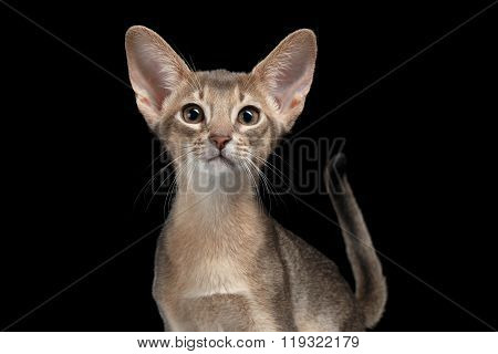 Closeup Portrait Of Abyssinian Kitten Isolated On Black
