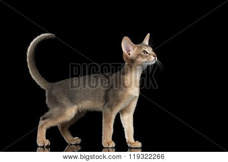 Standing Abyssinian Kitten Looking At Right And Raising Up Tail