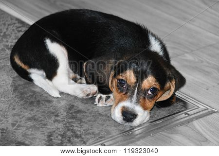 Beagle puppy just woke up