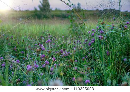 Clover Flowers On A Meadow