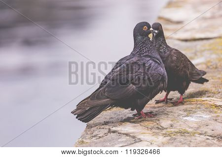 Two Pigeons On A Wood Post Show Affection Towards Each Other