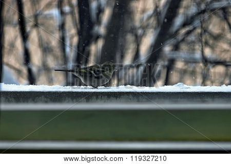 One titmouse bird (Paries) sit  on balcony with crumb