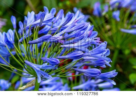 Blue Alium Close Up