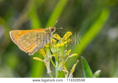 Skipper  butterfly sucking nectar out of wild yellow flower