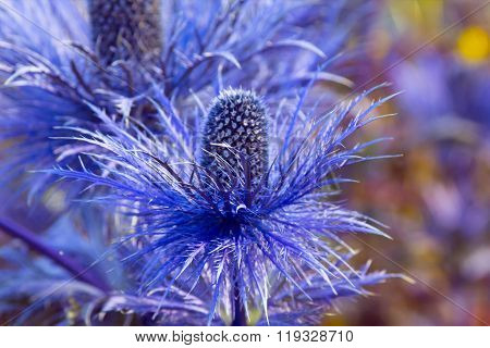 Eryngium Oliverianum Sea Holly Flower, Blue Plant Close Up In The Garden