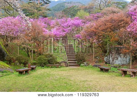 Beautiful Azaleas blossoming at Tenpaku Park in Nagiso, Nagano during Spring in Japan