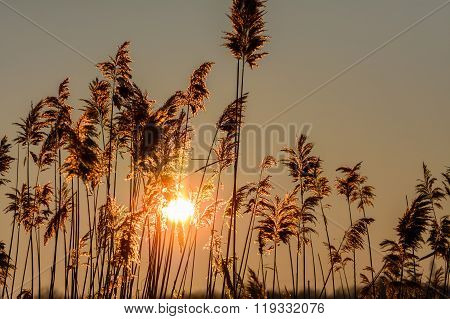 Reed Against The Sunset. Horizontal View With Reed Against Winter Sunset. .