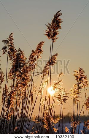 Reed Against The Sunset. Vertical View With Reed Against Winter Sunset. .