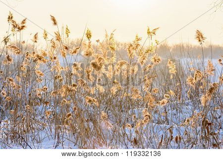 Reed In Snow Against The Sunset. Horizontal View With Reed Against Winter Sunset And Snow. .