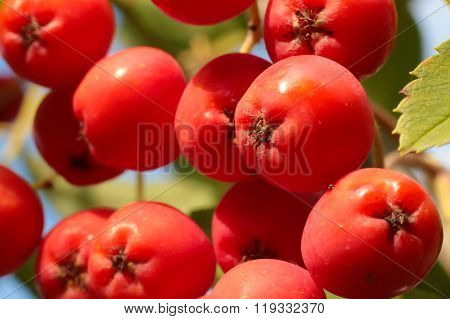 Rowan Berries Close-up