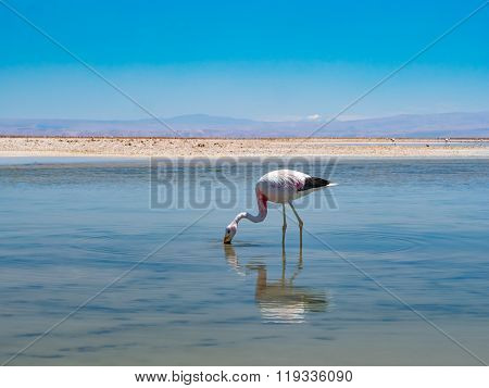Salar De Atacama Laguna Chaxa