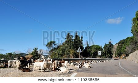 Goats On A Mountain Road