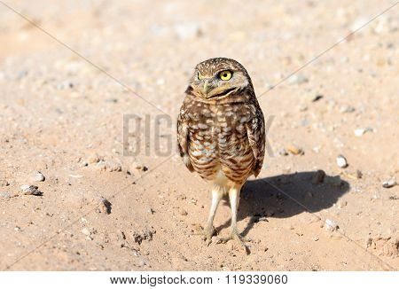 Burrowing Owl with a Serious Look, USA