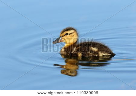 Mallard Duckling swimming in blue water, British Columbia, Canada