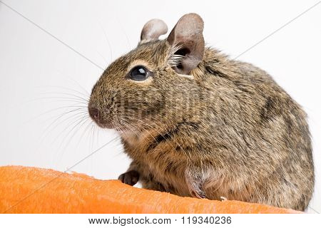 Rodent With Carrot
