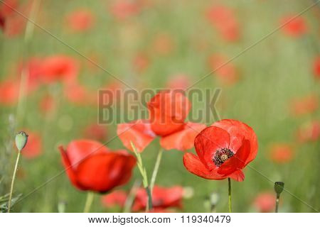 Red Poppy In A Field Of Poppies