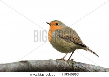 Robin on a tree branch